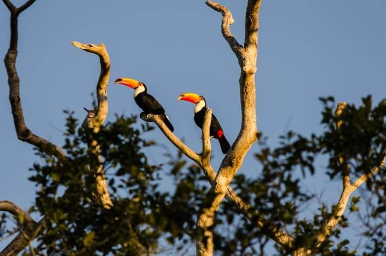Destinos na América do Sul: Dois tucanos em galhos de uma árvore no Pantanal.